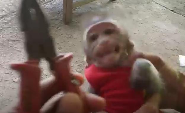 גור קופים (צילום: More Monkey Tales Too, יוטיוב)