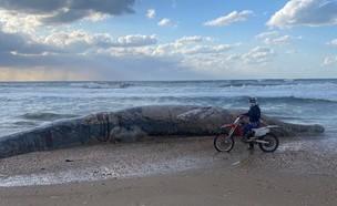 לווייתן נסחף ומת בחוף ניצנים