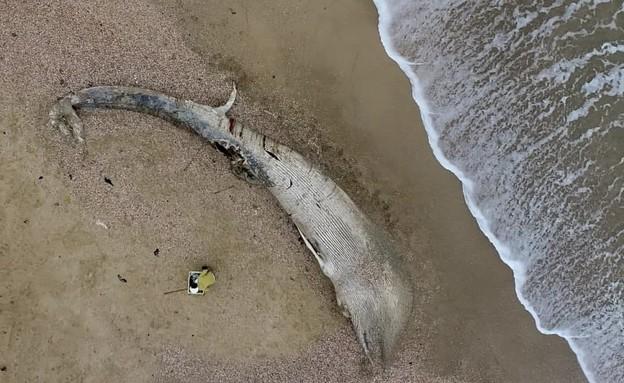 הלוויתן המצוי בחופי שמורת ניצנים (צילום: אביעד שיינין, תחנת מוריס קהאן לחקר הים)