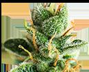 10 -  צמח קנאביס (צילום: shutterstock)
