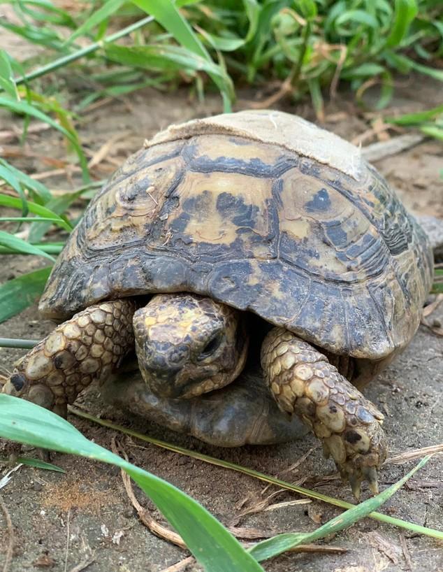 כבר לא רואים צבים בטבע (צילום: החברה להגנת הטבע)