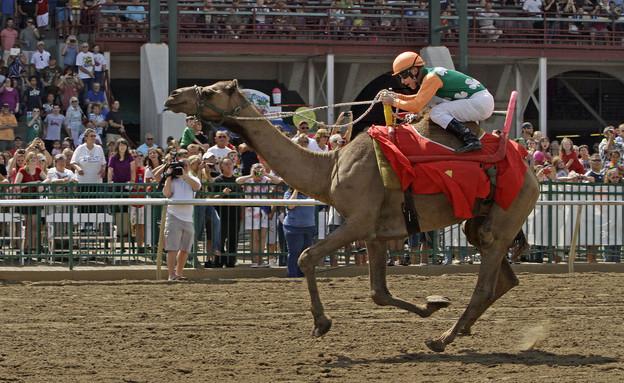 המנצח במירוץ הגמלים המסורתי בקנטאקי, 2013 (צילום: ap)