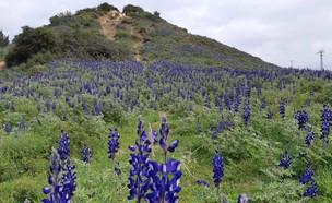 תורמוסים בשמורת טבע טוף (צילום: רועי רובין, רשות הטבע והגנים)