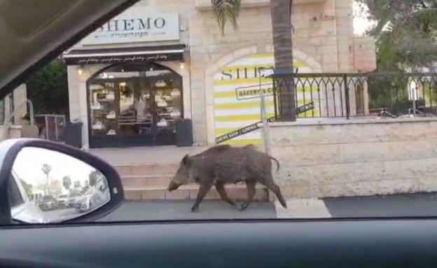 חזיר בר (צילום: החדשות )