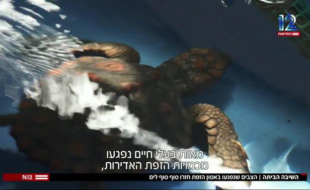 הצבים שנפגעו באסון הזפת חזרו סוף סוף לים