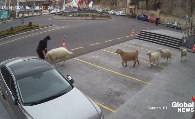 כבשים ברחוב תוקפות בן אדם (צילום: global news)