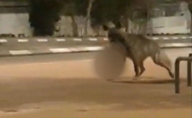 תיעוד מפחיד: צבוע ענק משוטט ברחובות ראשל
