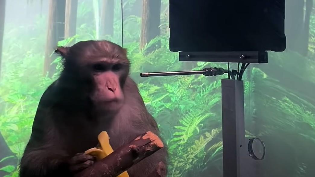 הקוף של נוירלינק (צילום: Neuralink/Youtube)