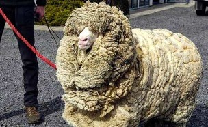 שרק הכבש (צילום: malana_merino, instagram)