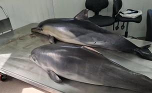 שני דולפינים מצאו את מותם (צילום: ד״ר אביעד שיינין, דלפיס. מתוך פייסבוק)