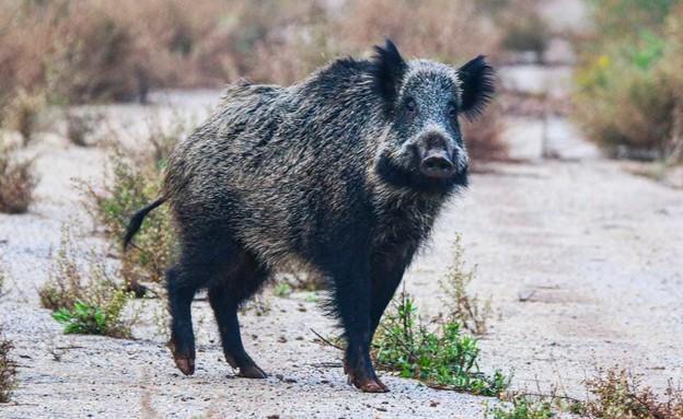 חזיר בר - מין מתפשט (צילום: נמרוד להב, רשות הטבע והגנים)