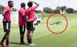 התנין שהפתיע את שחקני טורונטו (צילום: Toronto FC, youtube)