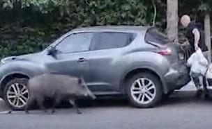 """חזירה רדפה אחרי תושב חיפה בגלל שקית בשר (צילום: מתוך """"חדשות הבוקר"""" , קשת 12)"""