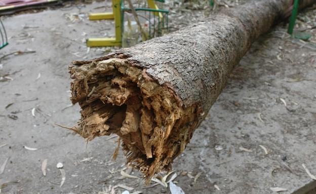 עץ קורס בקיץ (צילום: אביגיל הלר, משרד החקלאות ופיתוח הכפר)