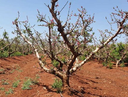 מטע אפרסק ליד קרית שמונה (צילום: אסף שמיר, יחסי ציבור)