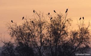 בז אדום (צילום: מידד גורן, החברה להגנת הטבע)