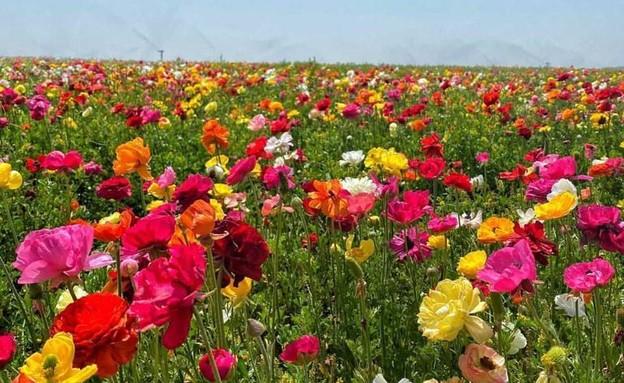 שדה פרחים בגן יבנה (צילום: רעות אברהמי)