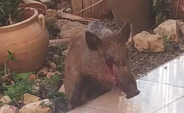 חזיר בר מסכן בחיפה (צילום: העמותה למען חיות הבר, פייסבוק/Racheli Uzan)
