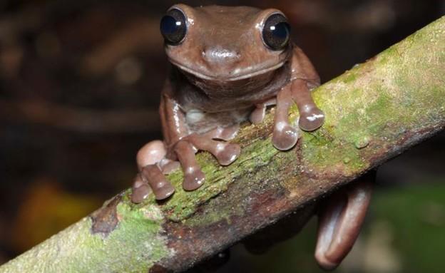 צפרדע שוקולד - מין חדש של צפרדעים (צילום: סטיב ריצ'רדס)