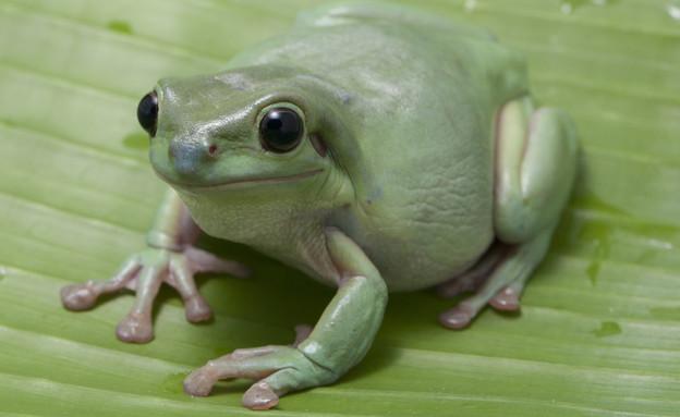 צפרדע אוסטרלית ירוקה (צילום: החדשות12, 123rf)