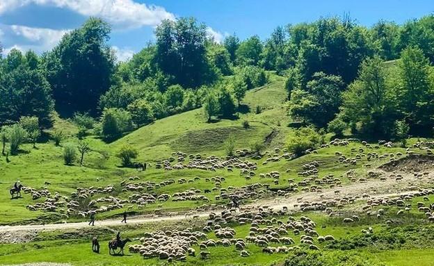 עדרי צאן הרועים בין מרבדים ירוקים אינסופיים (צילום: ליאת כהן רביב)