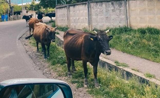 הפרות הן הבעלים האמיתיים של גאורגיה (צילום: ליאת כהן רביב)