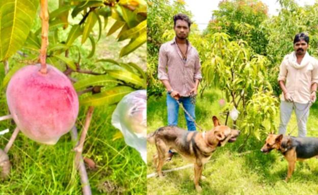 המנגו היקר בעולם (צילום: תמונות באדיבות סנקאלפ סינג פאריהאר, VICE)