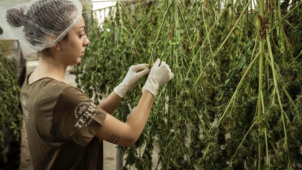 קנאביס רפואי (צילום: Terre di Cannabis, unsplash)