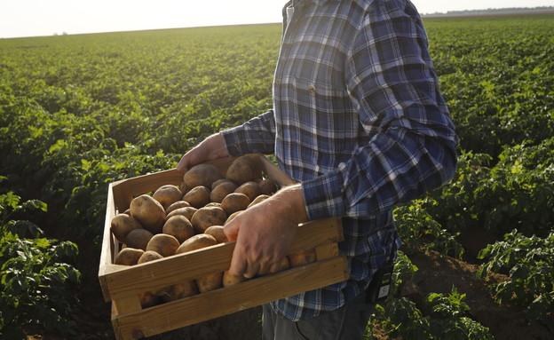 תפוח אדמה בעבודה (צילום: ליאור נורדמן)