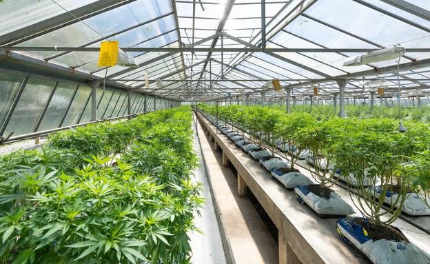 קנאביס רפואי (צילום: CRYSTALWEED cannabis, unsplash)