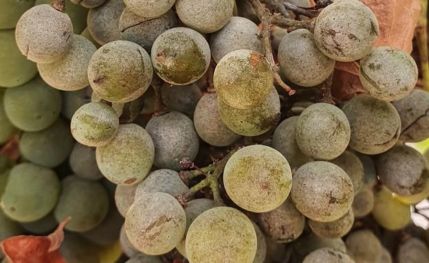 ענבים עם קימחון (צילום: ליאור גור)