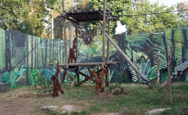 קופת אורנגאוטן בספארי  (צילום: ספארי רמת גן)