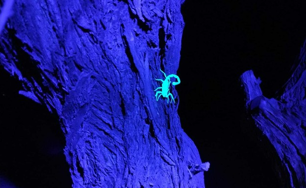 אירועים בתשלום 2021 סיור עקרבים לילי (צילום: מקס קופיצ'ינסקי)