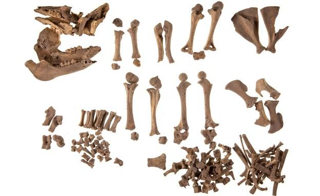 עצמות חזיר במעבדת האוניברסיטה (צילום: סשה פליט, המכון לארכיאולוגיה באוניברסיטת תל אביב)