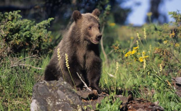 דב, דוב, גריזלי, יער (צילום: Tom Brakefield, GettyImages IL)