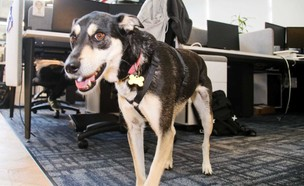 המשרד שאימץ כלבה חרדתית (צילום: Tipalti, יחסי ציבור)