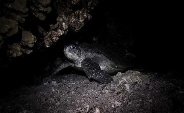 צב ים בלילה (צילום: עומרי יוסף עומסי , רשות הטבע והגנים)
