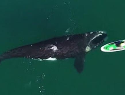 תיעוד נדיר: לווייתן ענק מתקרב לאישה בסירה - ודוחף אותה
