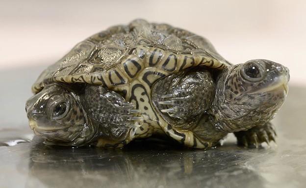 צב בעל שני ראשים ושש רגליים (צילום: teve Heaslip, Cape Cod Times)