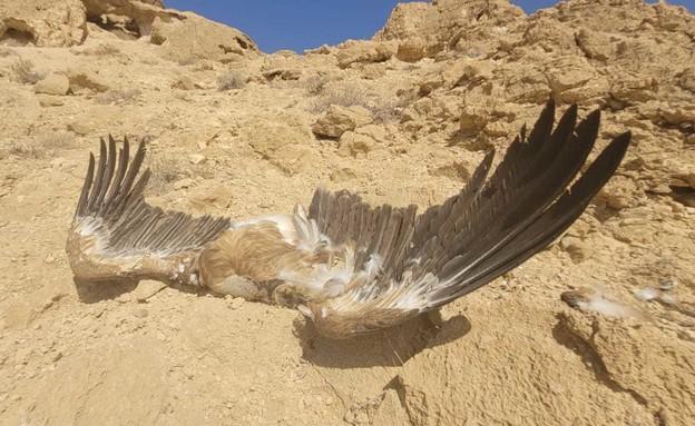 נשר שהורעל בדרום הארץ (צילום: אריה רוזנברג, רשות הטבע והגנים)